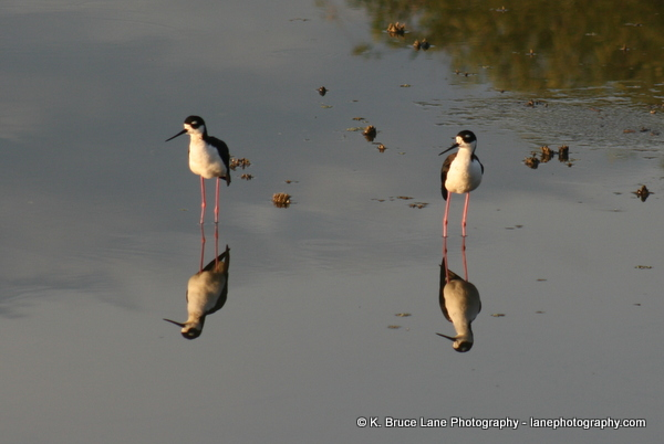 Click the image to view my NEW Black-necked Stilt Gallery